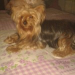 Perro Yorkshire Terrier chanel