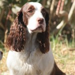 Perro English Springer Spaniel Kimber