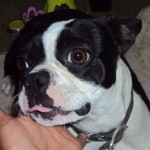 Perro Boston Terrier Looney