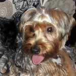 Perro Yorkshire Terrier Manolo