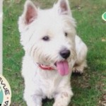 Perro West Highland White Terrier Cloe
