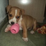 Perro American Staffordshire-Terrier Ares