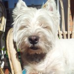Perro West Highland White Terrier Figo
