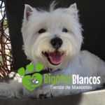 Perro West Highland White Terrier Daisy