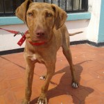 Perro Chesapeake Bay Retriever kairo