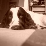 Perro English Springer Spaniel Manolo