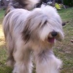 Perro Bearded Collie BELLA
