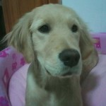 Perro Golden Retriever cayleen