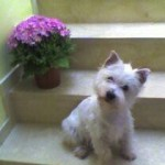 Perro West Highland White Terrier tayson