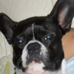 Perro Boston Terrier olivia