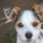 Perro Parson Russell Terrier fiona