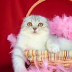 Gato Scottish Fold Felicity