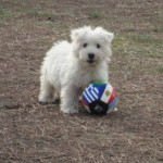 Perro West Highland White Terrier Nelly