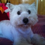 Perro West Highland White Terrier Maguie