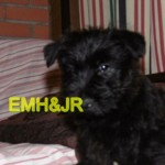 Perro Scottish Terrier Arya