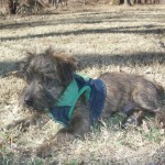 Perro Cairn Terrier puky