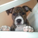 Perro Staffordshire Bull Terrier charly