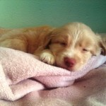 Perro Nova Scotia Duck Tolling Retriever Akamaru