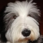 Perro Bearded Collie Jack