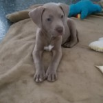 Perro American Pit Bull Terrier canelo