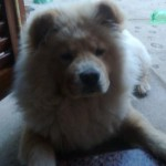 Perro Chow Chow Coly