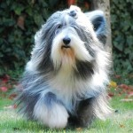 Perro Bearded Collie Megan