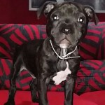 Perro Staffordshire Bull Terrier ares