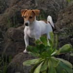 Perro Jack Russell Terrier Pit