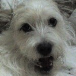 Perro West Highland White Terrier jazmin