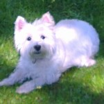 Perro West Highland White Terrier selma