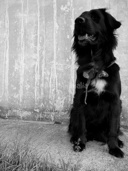 Fotos del Flat-Coated Retriever