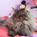 Gato Maine Coon BelBey