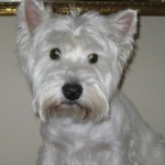 Perro West Highland White Terrier Golfo