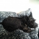 Perro Scottish Terrier blacky