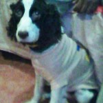Perro English Springer Spaniel marley