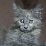 Gato Maine Coon ophra