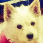 Perro West Highland White Terrier Bianca