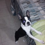 Perro Boston Terrier bacon