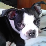 Perro Boston Terrier Dante