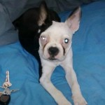 Perro Boston Terrier leah