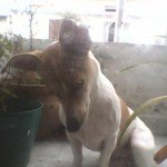 Perro Jack Russell Terrier cony