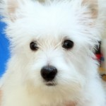 Perro West Highland White Terrier Syrio