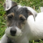 Perro Parson Russell Terrier tinkerbell