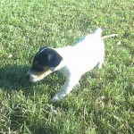 Perro Jack Russell Terrier Polo