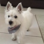 Perro West Highland White Terrier Milka