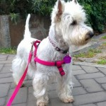 Perro West Highland White Terrier Jinny