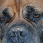 Perro Bullmastiff Ashley