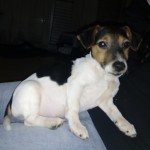 Perro Jack Russell Terrier Rolo