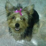 Perro Silky Terrier Polly