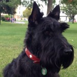 Perro Scottish Terrier Nelson